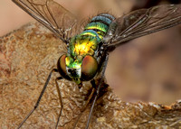 Macro Flash Bracket : House Fly
