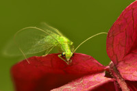 xxGreen Lacewing Bug, Red Flower - Macro