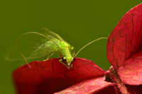 Green Lacewing Bug, Red Flower - Macro