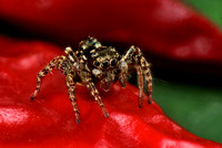 Macro Flash Bracket :  Jumping Spider on Red Pepper